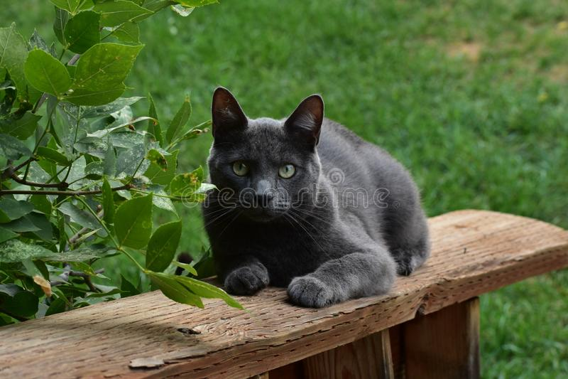 Russian Blue cat on railing. Russian Blue cats are a gentle, active breed with a silver sheen to their soft coats. This one loves the outdoors, and loves to royalty free stock photo