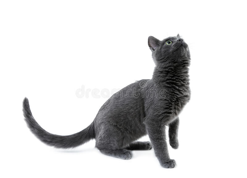 Download Russian blue kitten stock photo. Image of front, young - 17465284