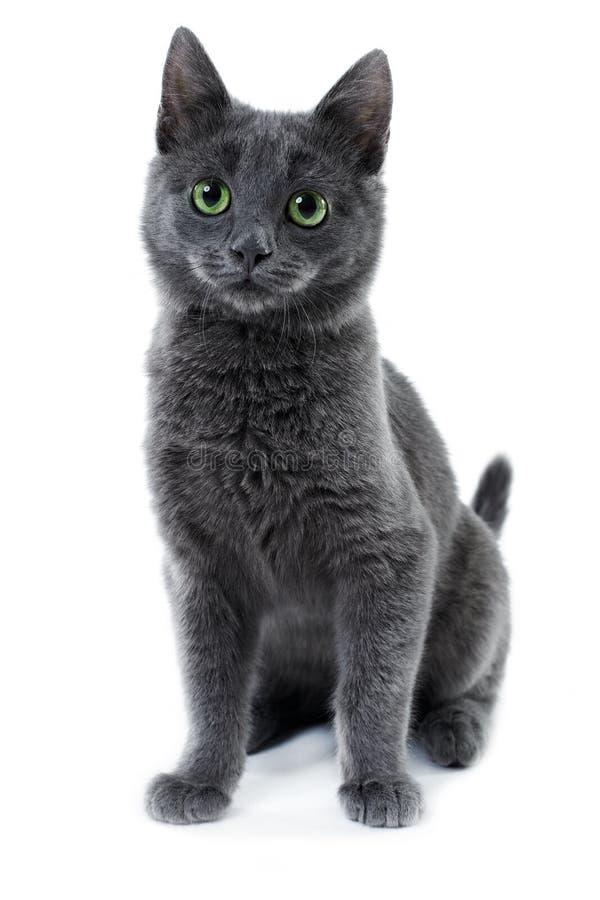 Free Russian Blue Kitten Stock Photos - 17517643