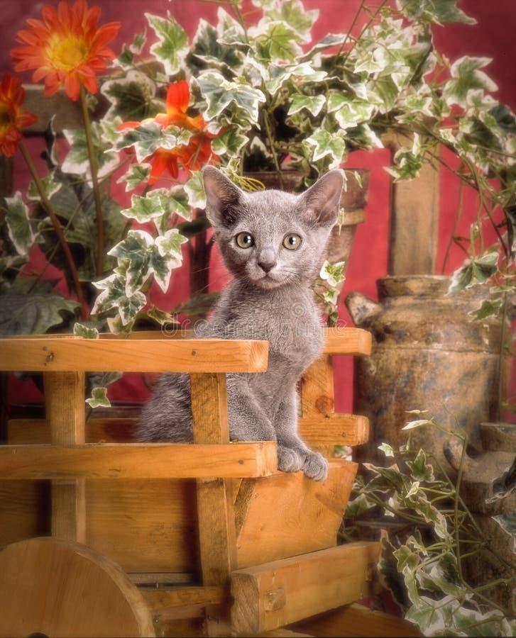 Download Russian blue kitten stock photo. Image of feline, grey - 31945362
