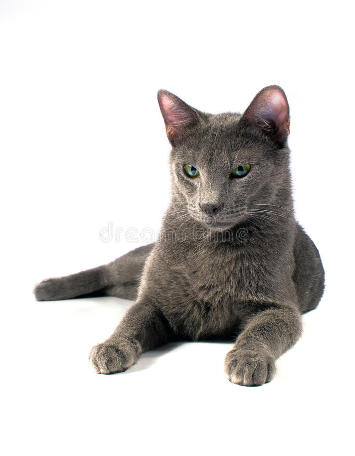 Download Russian Blue male stock image. Image of cute, looking - 25771775