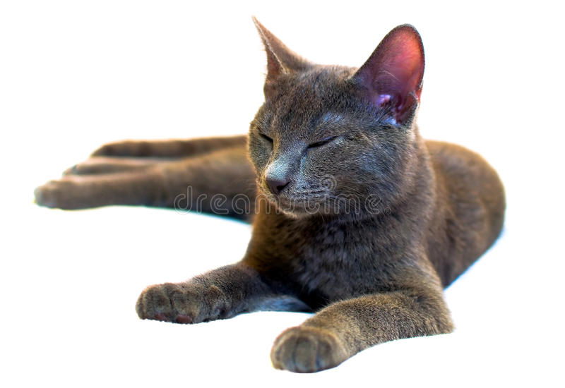 Download Russian Blue sleeping cat stock photo. Image of smiling - 22732660