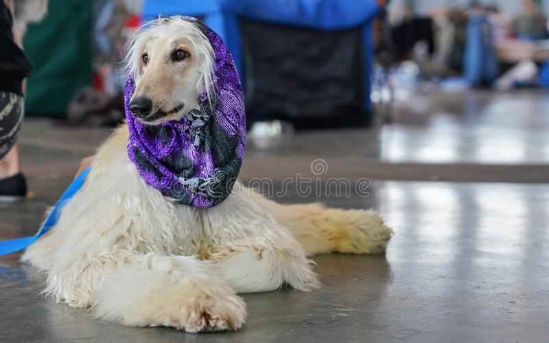 Russian borzoi dog sitting on the floor, purple scarf on head - ready and groomed at dog show contest stock photos