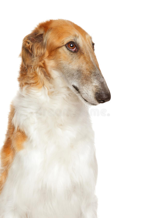 Russian borzoi Wolfhound Dog royalty free stock photography