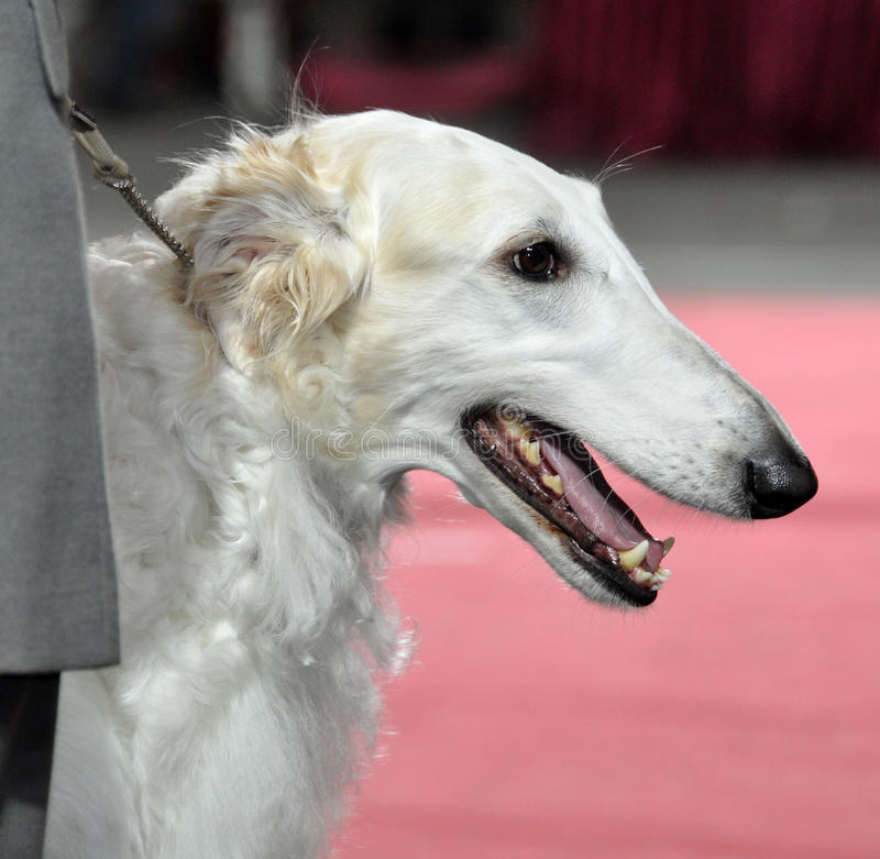 Download Russian Borzoi - Wolfhound Dog Stock Photo - Image of side, puppy: 39513282