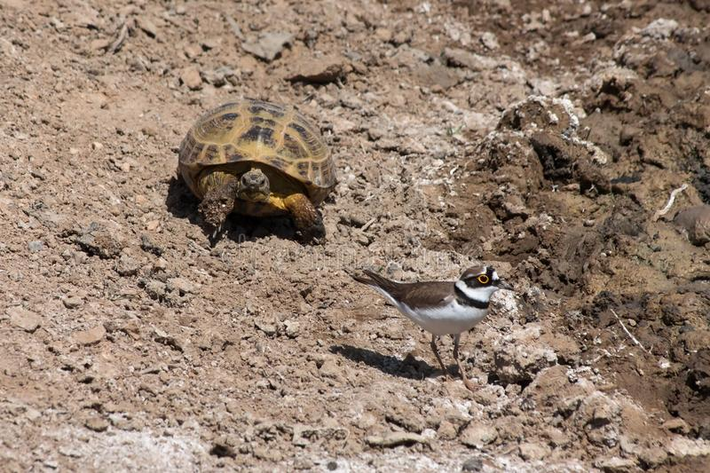 Steppe tortoises and Little ringed plover. Russian or Central Asian tortoise Testudo horsfieldii following a Little ringed plover Charadrius dubius in Kyzyl stock photography