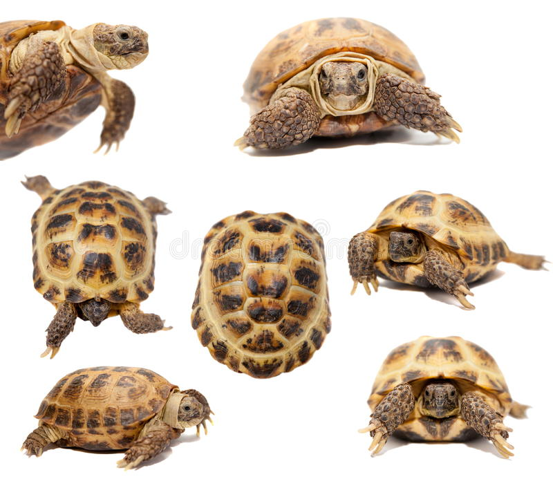 Download Russian Or Central Asian Tortoise On White Stock Image - Image of white, tortoise: 42181247
