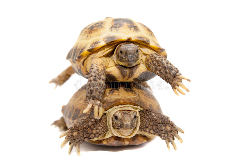 Russian Or Central Asian Tortoise On White Stock Photo