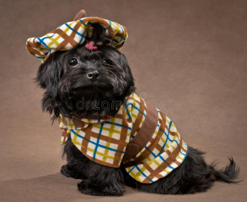 Download Russian Color Lap Dog In The Dress Stock Photo - Image: 22012592