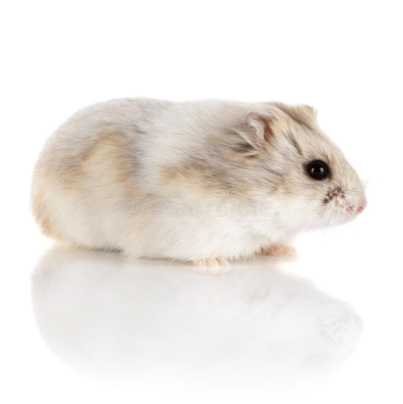 Russian Dwarf Hamster royalty free stock images