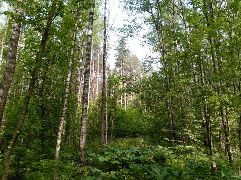 Russian forest royalty free stock photography