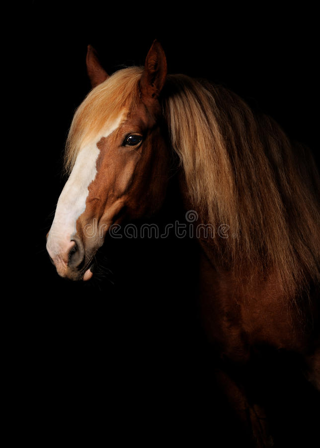 Russian heavy draught horse royalty free stock images