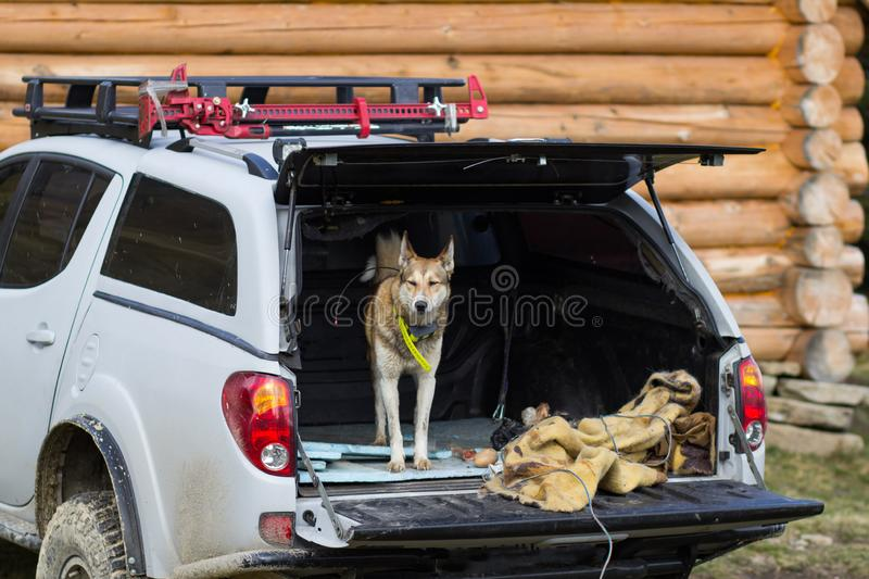Russian hunter dog portrait. West siberian laika, russian hunting dog in mountains stock images