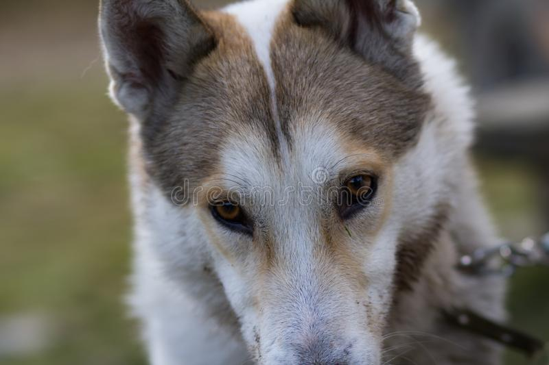 Russian hunter dog portrait. West siberian laika, russian hunting dog in mountains royalty free stock photography