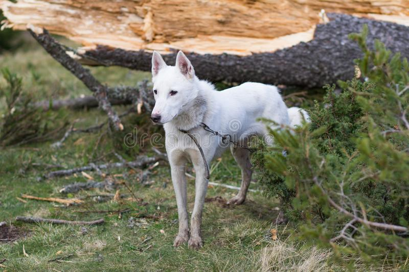 Russian hunter dog portrait. West siberian laika, russian hunting dog in mountains royalty free stock photos
