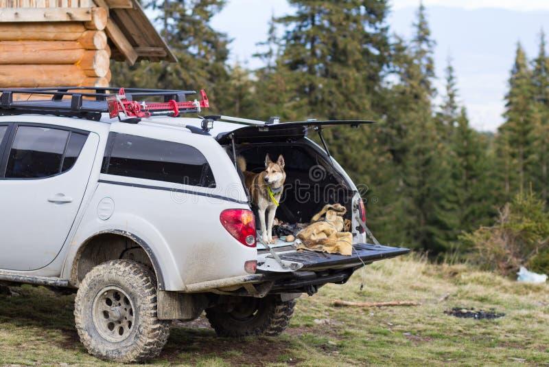 Russian hunter dog portrait. West siberian laika, russian hunting dog in mountains stock photo