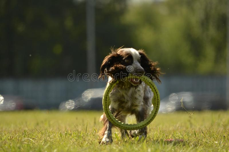 Russian hunting spaniel. Young energetic dog on a walk. Puppies education, cynology, intensive training of young dogs. Walking dog. Sunstroke, health of pets in stock images
