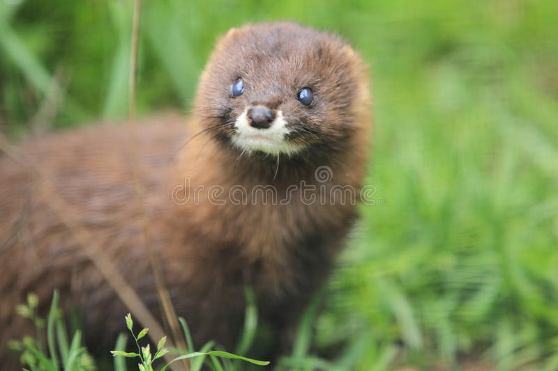 Russian mink. The detail of gazing russian mink stock photography