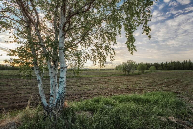 Lonely birch standing in a field under a blue sky. stock image