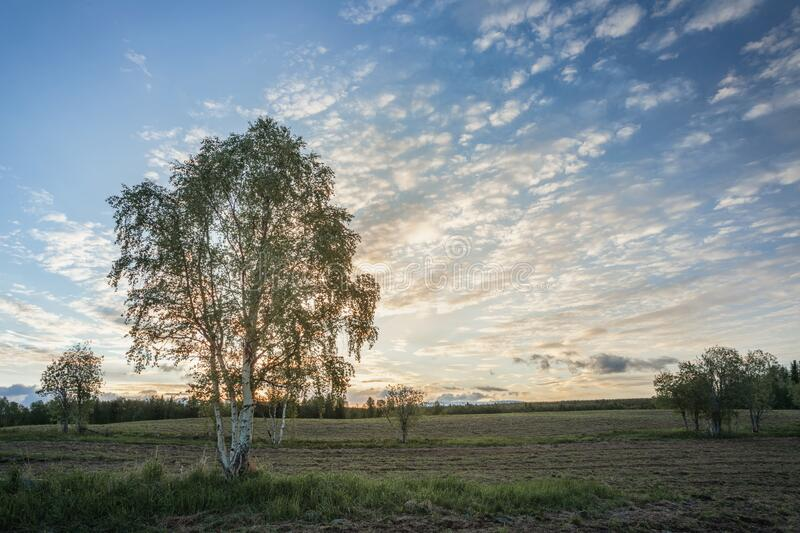 Lonely tree on a sunset background in a field with green grass. royalty free stock photo