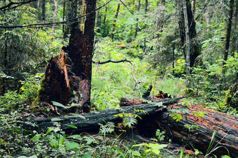 Russian ordinary impassable forest. Siberian taiga royalty free stock photography