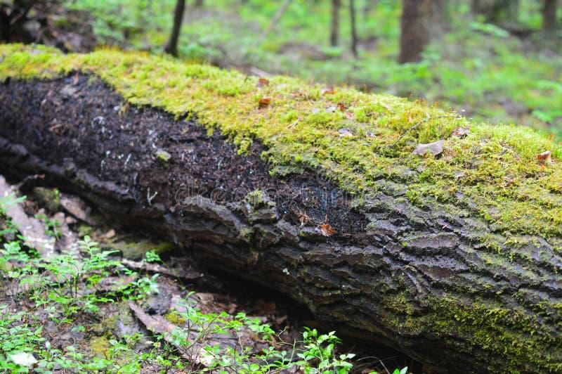 Russian ordinary impassable forest. Siberian taiga royalty free stock photo