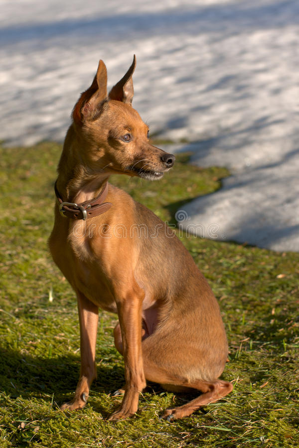 Russian shorthair toy terrier royalty free stock images