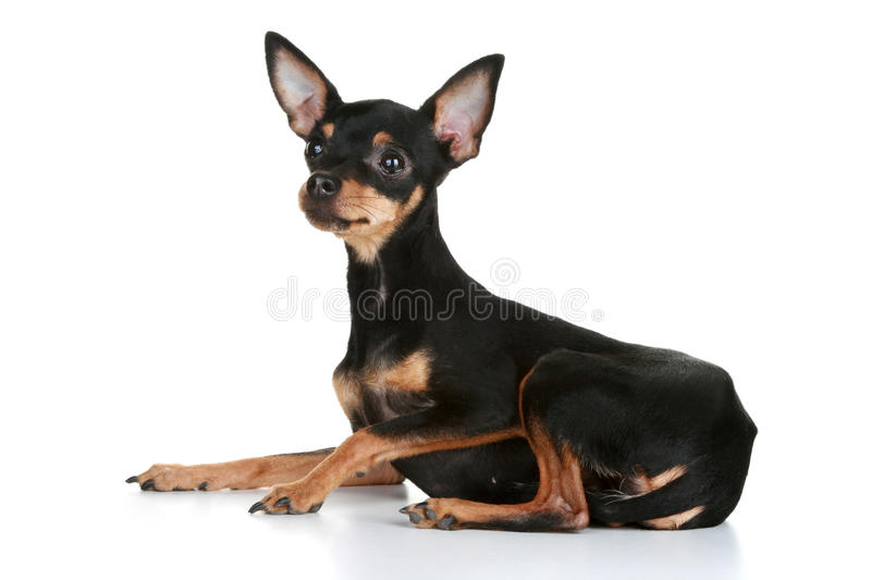 Download Russian Sleek-haired Toy Terrier Puppy Stock Photo - Image: 17153542