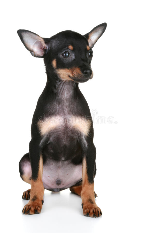 Download Russian Sleek-haired Toy Terrier Puppy Stock Image - Image: 17153551