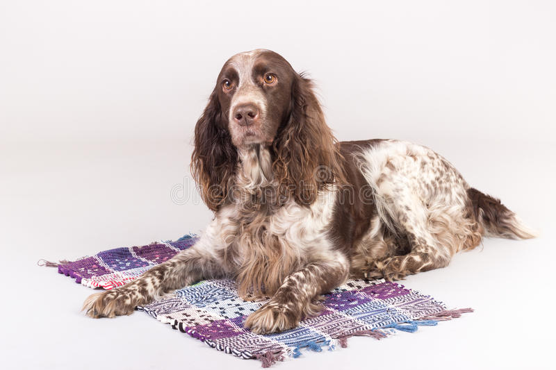 Russian Spaniel dog. Dog Russian Spaniel lying on the mat, gray background stock image