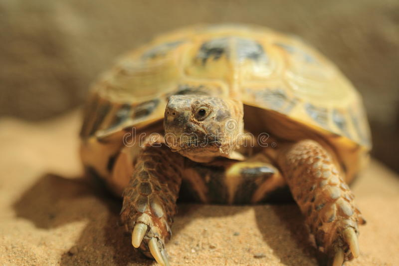 Download Russian tortoise stock image. Image of central, reptile - 27240959