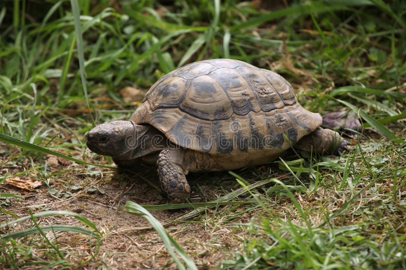Russian tortoise (Agrionemys horsfieldii). Russian tortoise (Agrionemys horsfieldii), also known as the Central Asian tortoise. Wild life animal royalty free stock photo