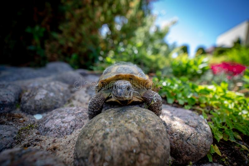 Russian tortoise climbing on rock. Russian tortoise exploring garden and looking into the camera royalty free stock image