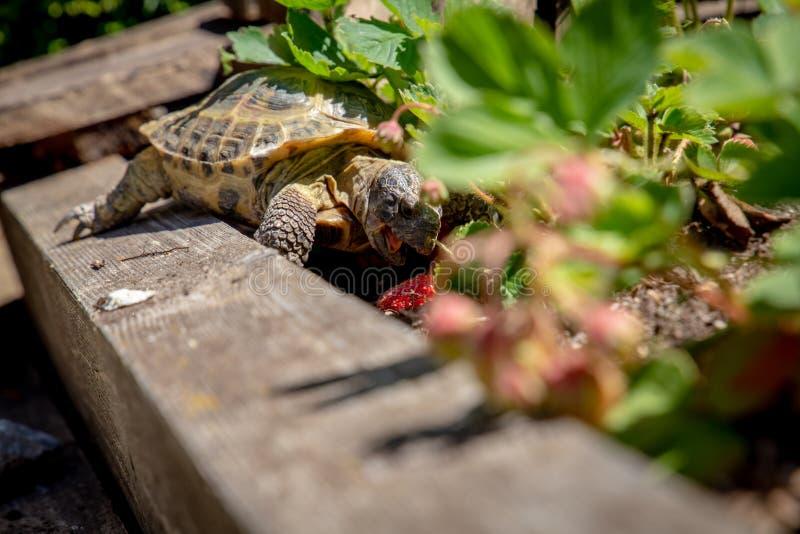 Russian tortoise eating strawberry stock image