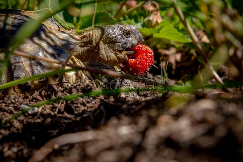 Russian tortoise eating strawberry. Shot between leaves on ground level stock image