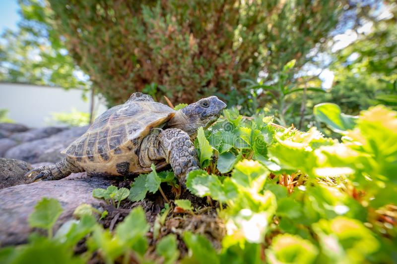 Russian tortoise exploring. In the garden royalty free stock photos