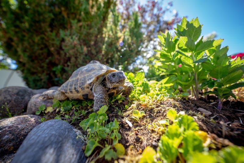 Russian tortoise exploring royalty free stock photo