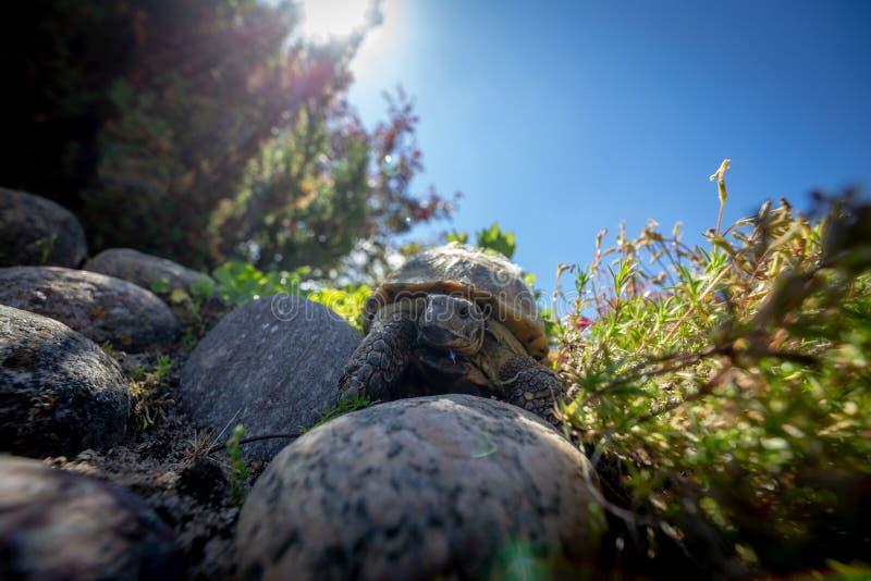 Russian tortoise exploring royalty free stock photos