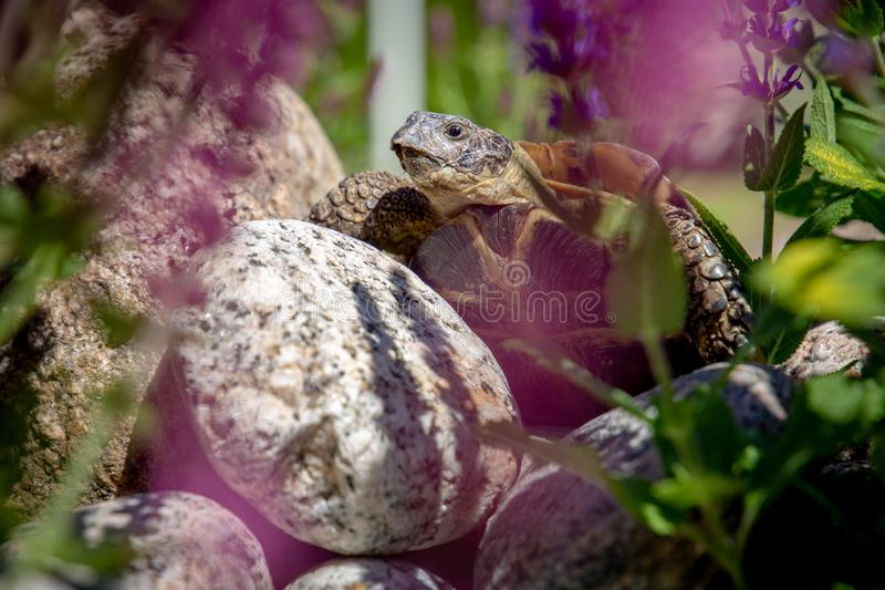 Russian tortoise exploring on rock royalty free stock images