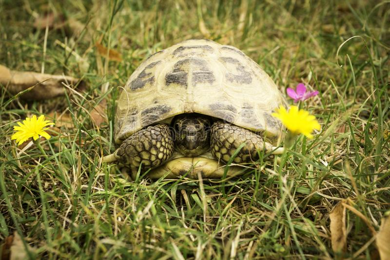 Russian tortoise in the grass - Testudo horsfieldii. Known as the Afghan tortoise, the Central Asian tortoise, Horsfield`s tortoise, and the steppe tortoise royalty free stock photography