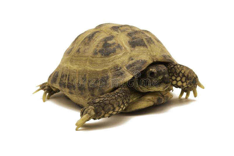 Russian tortoise isolated on white background.Testudo horsfieldii. Russian tortoise isolated on white background. Testudo horsfieldii stock photos