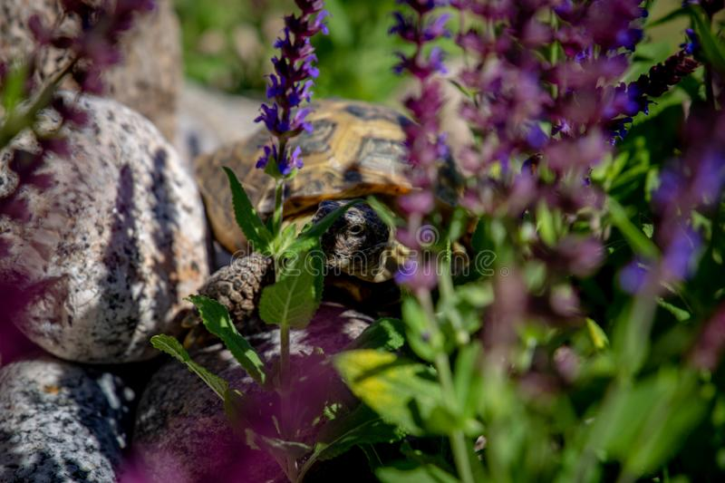 Russian tortoise peeking between flowers. Russian tortoise exploring garden and looking to camera stock photo
