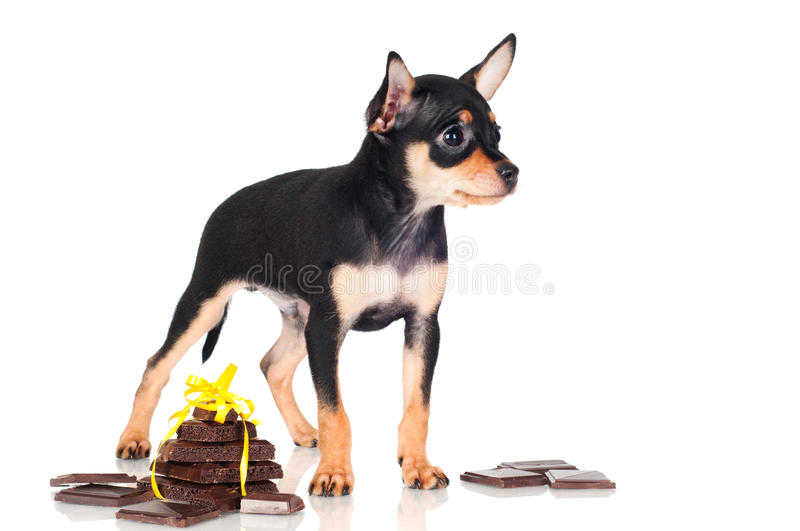 Download Russian Toy Dog Puppy With Chocolate Pieces Stock Image - Image: 30838875