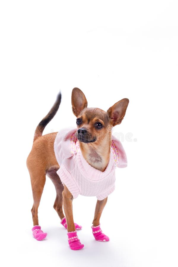 Russian toy in pink apparel, studio shot. Cute sleek-haired chihuahua dressed in beautiful pink sweater and socks isolated on white background, studio portrait stock image