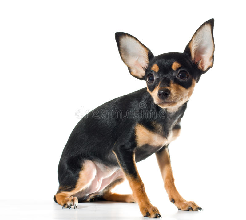 Free Russian Toy Terrier Stock Images - 18630374