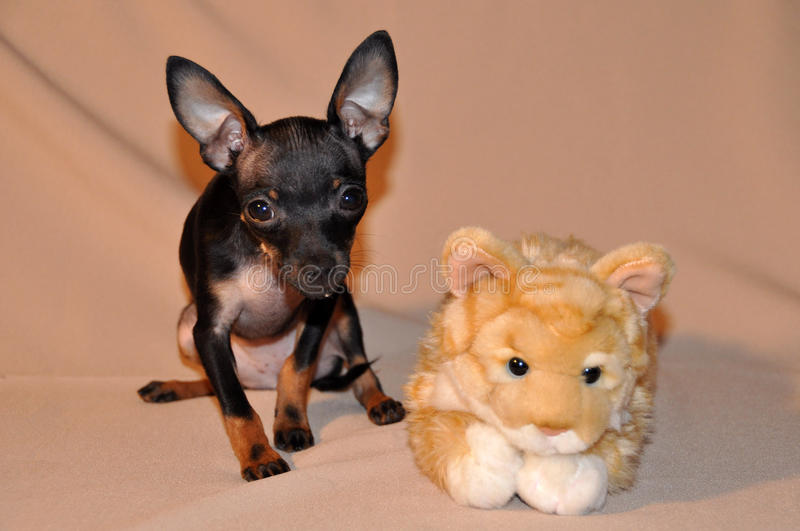 Russian toy-terrier royalty free stock photography