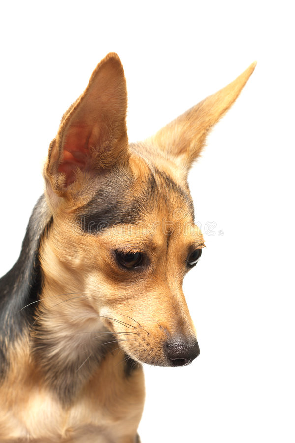Russian toy-terrier. Pretty doggy isolated on white looking aside royalty free stock photo