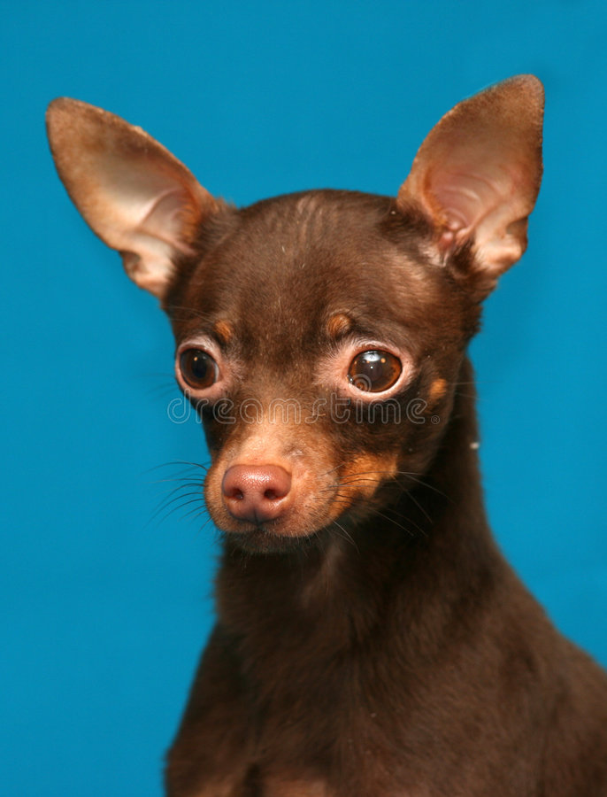 Free Russian Toy Terrier Stock Photo - 6561980
