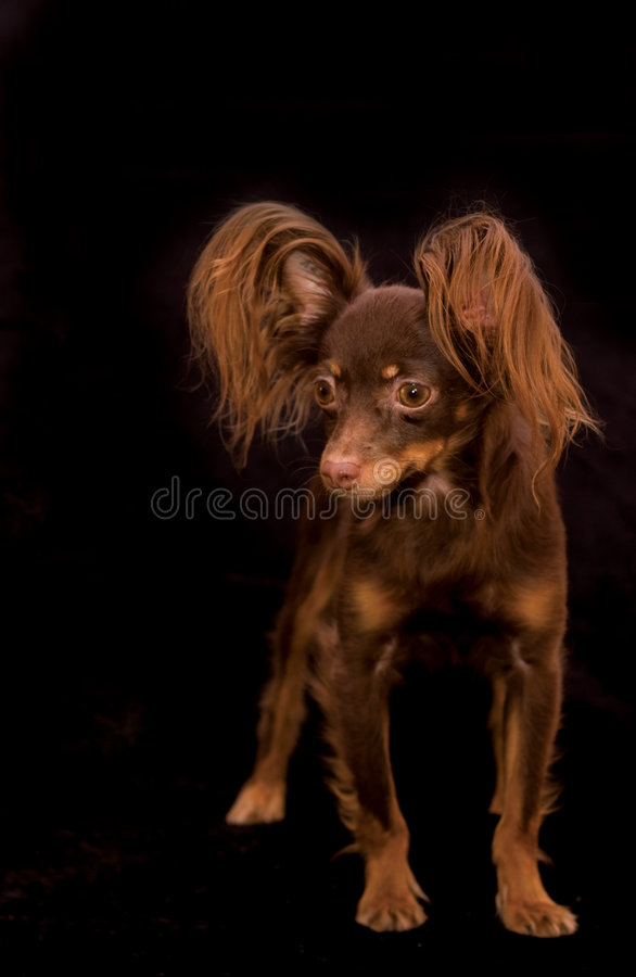 Free Russian Toy Terrier Royalty Free Stock Photography - 7736777