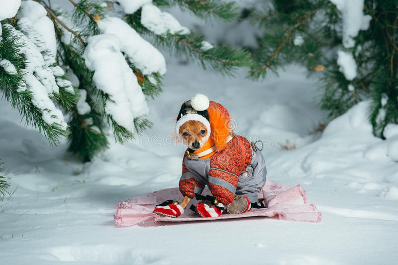 Russian Toy Terrier. In a city park in the winter. For the first time in a jumpsuit . He sits and stares into the camera. Pale orange color, a boy 5 months stock photography